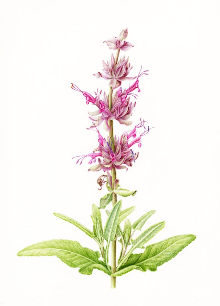 Joan Keesey (California), Hummingbird Sage (Salvia spathacea), 2013, Watercolor, 18 x 21 inches, NFS