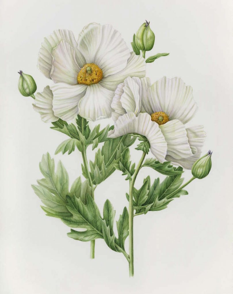 Joan Keesey (California), Matilija Poppy, 2014, Watercolor, 19 x 22 inches, NFS