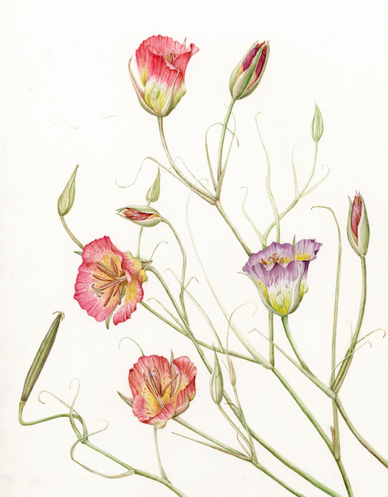 Joan Keesey (California), Plummer's Mariposa Lily (Calochortus plummerae), 2011, Watercolor, 18 x 20 inches, NFS
