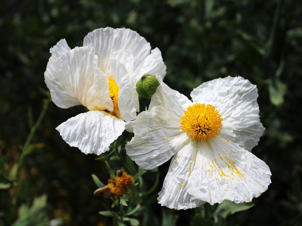 Carolyn McLeod (California), Coulter's Matilija Poppies, 2020,  Photograph on wrap canvas, 12 x 16 inches, $150