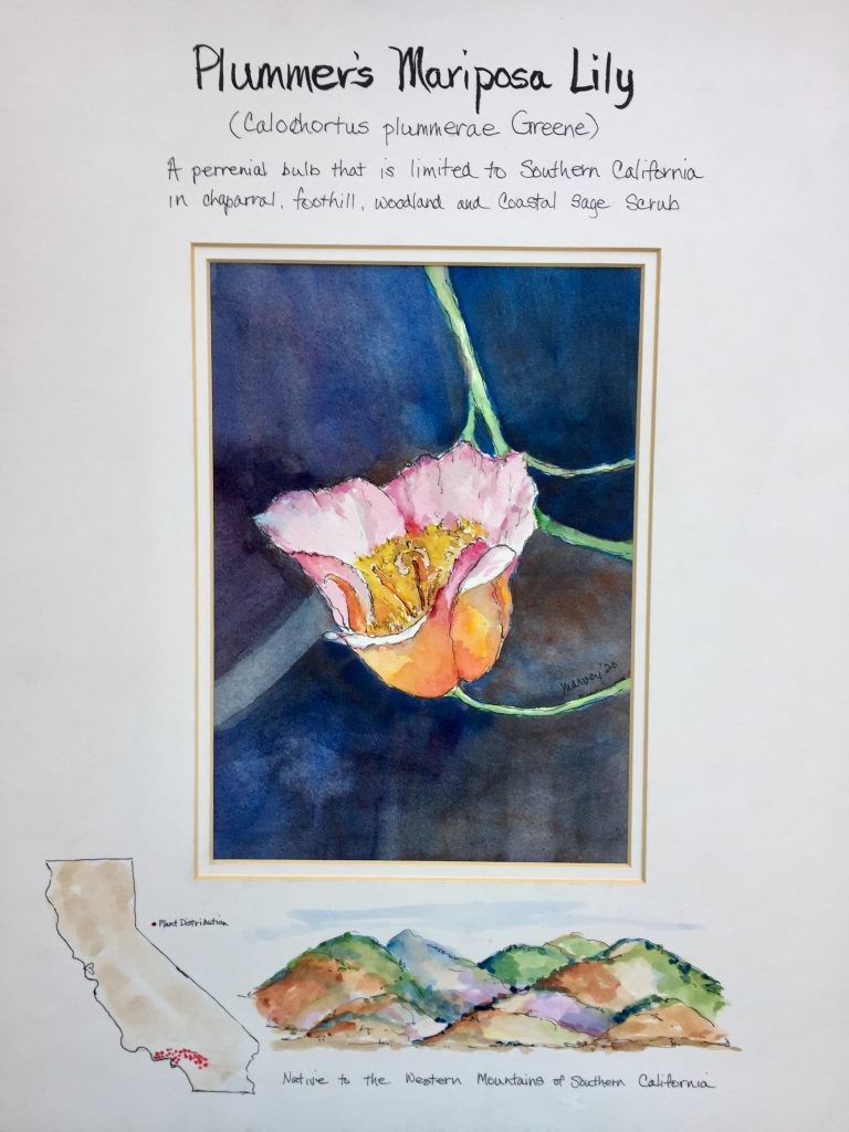 Marvey Mueller (California), Plummer's Mariposa Lily, 2020, Watercolor, pen & ink, 16x20 inches, $250