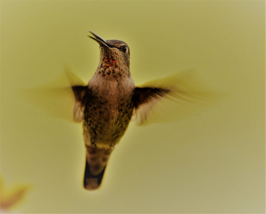 "Allen Dixon (Chico, Ca),	""Magical Hummer"", digital photo, NFS.		I have a deck with a beautiful view. There is a humming bird feeder with a continual flying circus. How better to spend my time than taking pictures of the beautiful acrobatic clientele. It offers a temporary escape from the daily barrage of bad news."