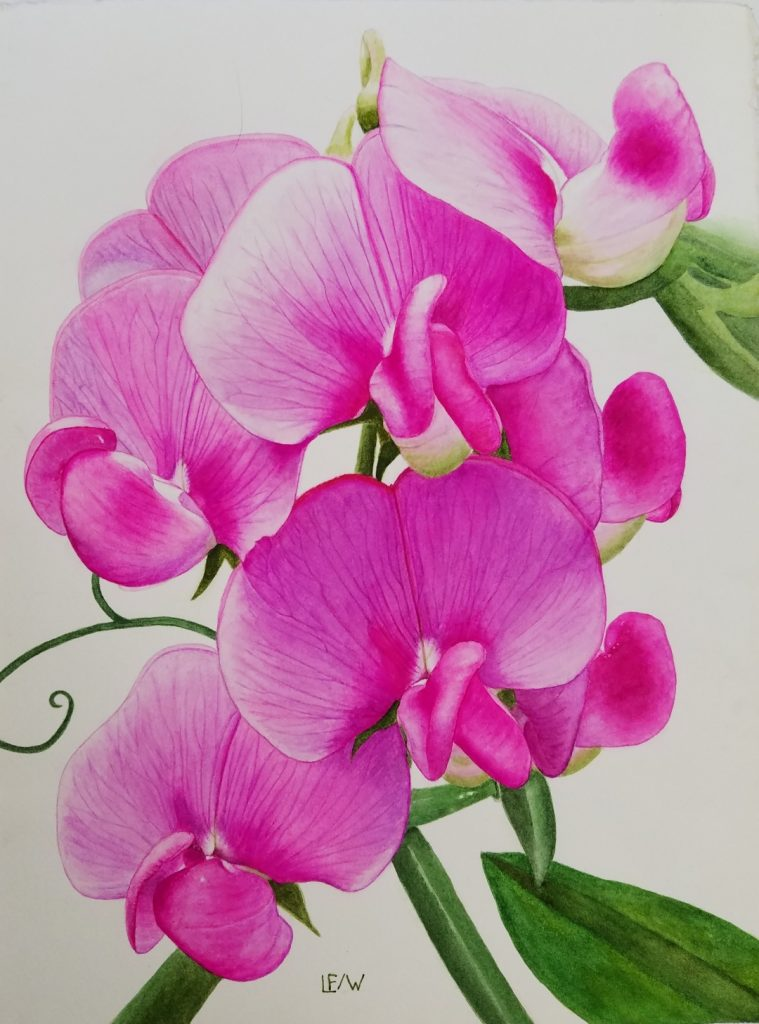 "Lisa Freeman-Wood, 	""Everlasting Pea"", watercolor on paper, 11x14"", NFS.	Everlasting Pea is a non-native vine that grows wild profusely in my area and on my property. They are invasive and almost impossible to remove. Deer eat the vines. The flowers are white to pink."