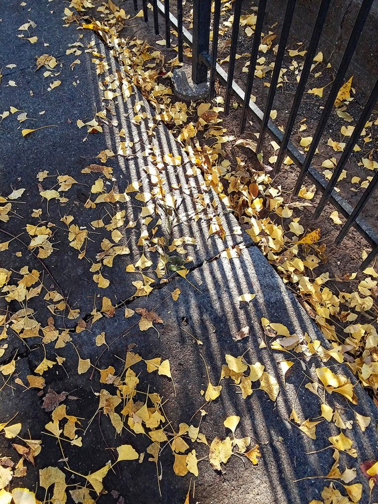 "Carolyn McLeod, ""Shadows and Ginkgo Leaves"", Photograph on Wrap Canvas, 24x 15"", $200.  I took this photograph a year ago last fall. My goal was to take an interesting photo of the Stansbury home, but what caught my interest was the ginkgo leaves on the pavement    and the shadows from the fence. It is a simple but striking photo, that has recently received a national award."