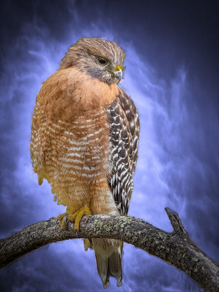 "Richard Baldy, Red Shouldered Hawk, 2020 Photograph, 12""X16"" Free with $200 donation to Chico Housing Action Team or Friends of Bidwell Park"