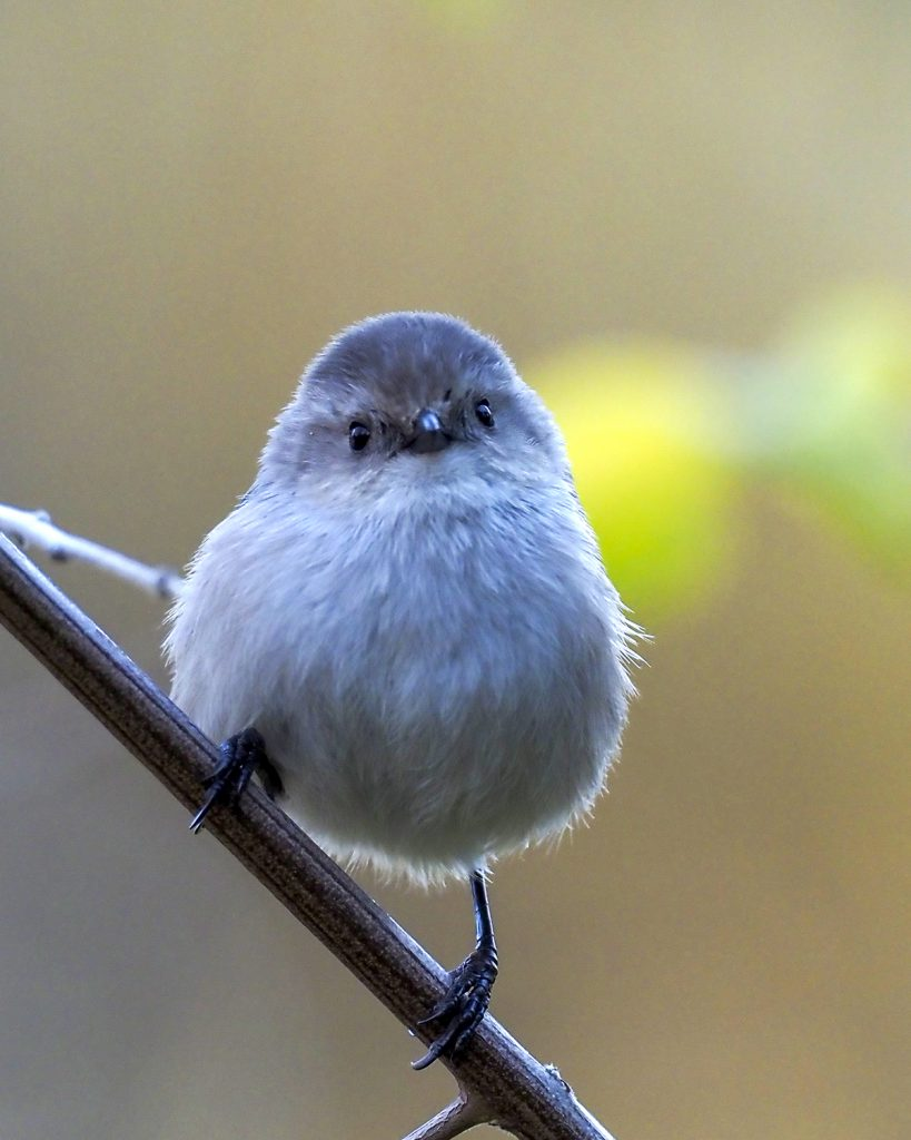 "Cristine Connerly, Fluffball Bushtit, 2020, metal photo print, 8""X 10"", $85"