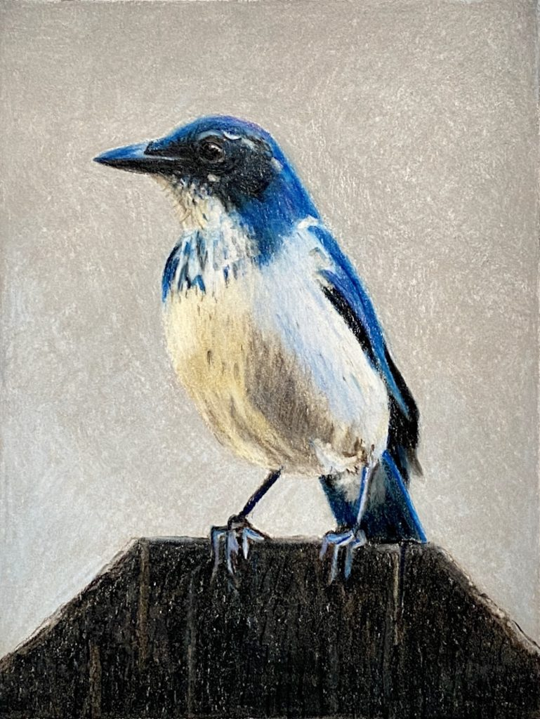 "Cris Guenter, Scrub Jay, 2020, Colored Pencils, 4 3/4"" x 6 1/4"", NFS"
