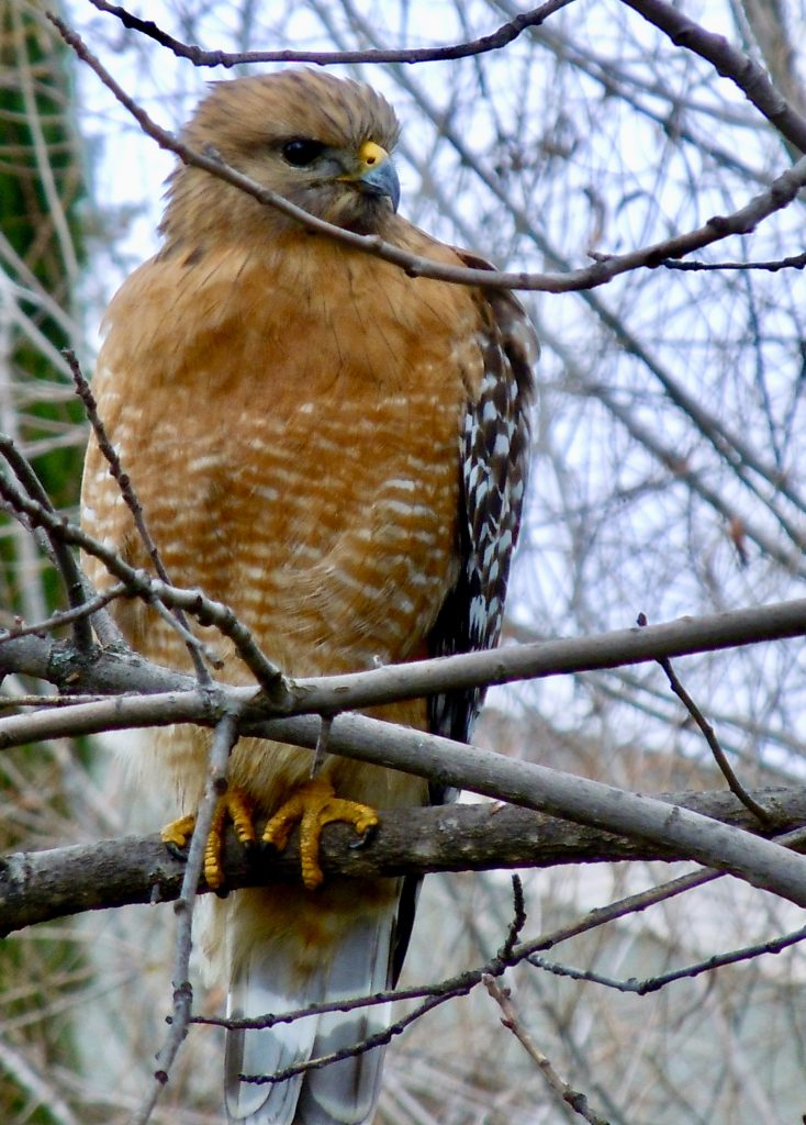 William Kees, Red-Shouldered Hawk, 2010, Photo, Variable, contact artist for custom size prints