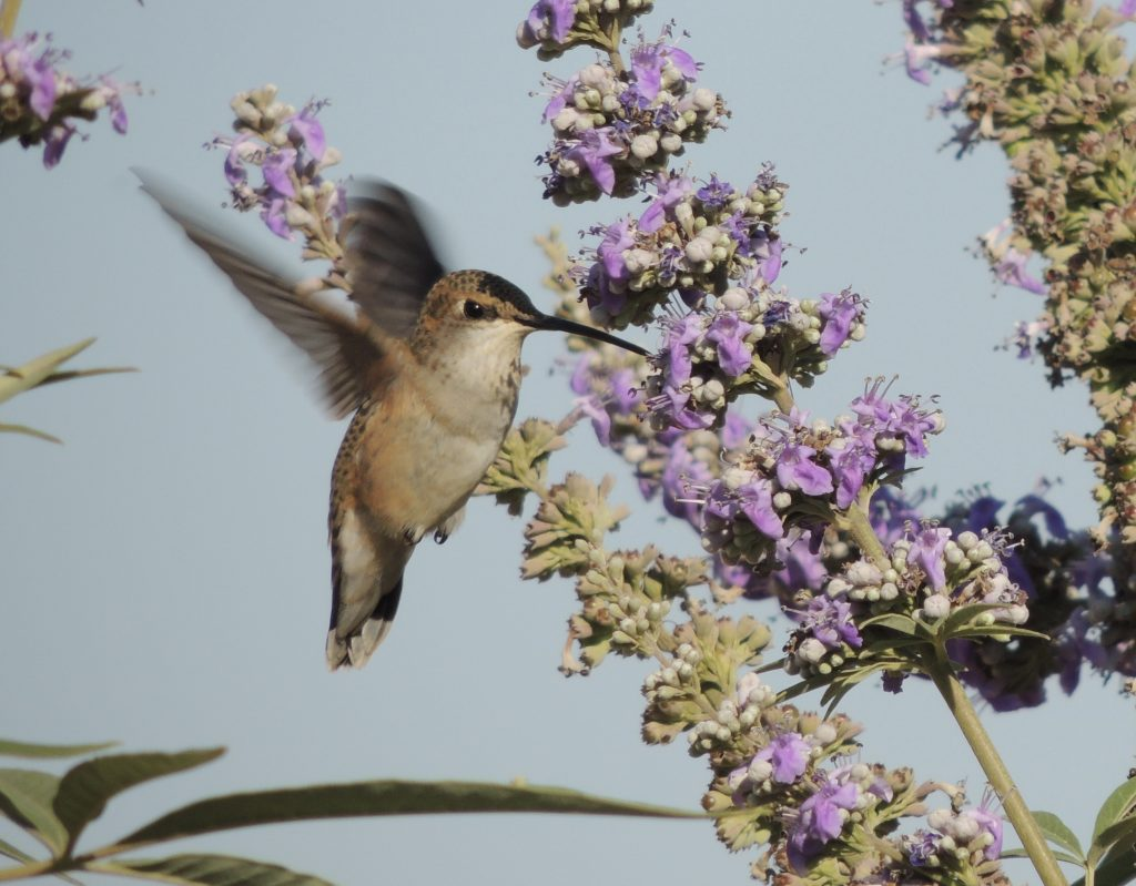 William Kees, Rufous Hummingbird - 2013, Photo, Variable, Contact artist for custom size prints