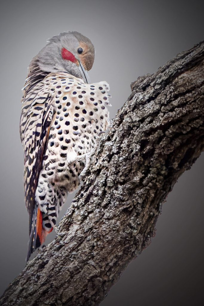 "Richard Baldy, Northern Flicker, 2020, Photograph,12""X17.5"" Free with $200 donation to Chico Housing Action Team or Friends of Bidwell Park"