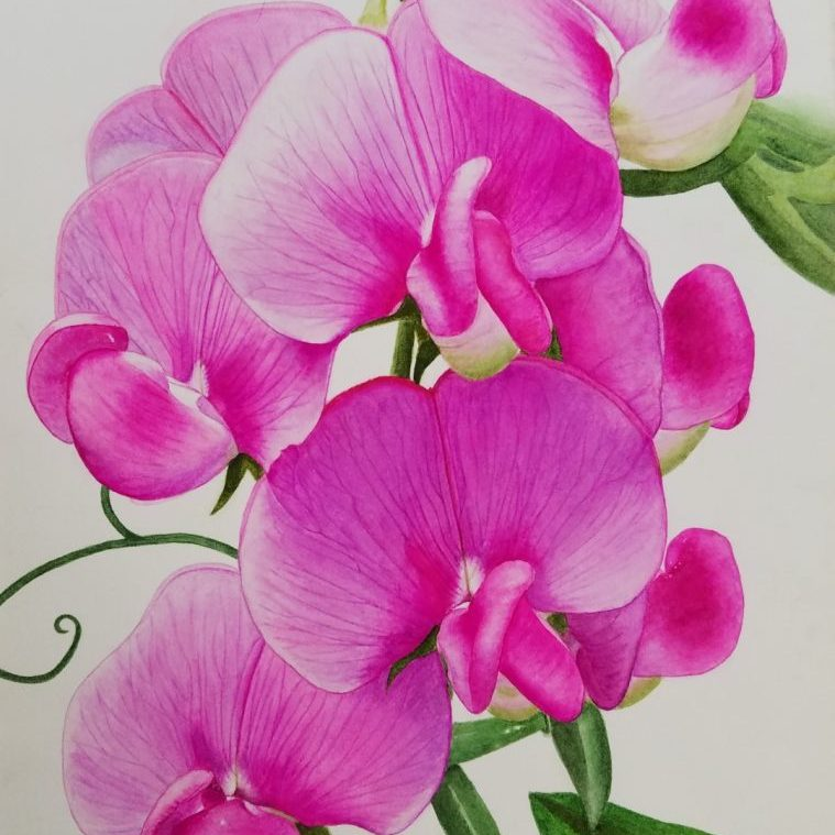"""Lisa Freeman-Wood, """"Everlasting Pea"""", watercolor on paper, 11x14"""", NFS.Everlasting Pea is a non-native vine that grows wild profusely in my area and on my property. They are invasive and almost impossible to remove. Deer eat the vines. The flowers are white to pink."""